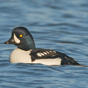 Male. Note: steep forehead, and white crecent on face. Black meets water towards front of sides (compare male Common Goldeneye).