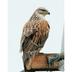 "Adult ""light morph"" Ferruginous Hawk. Note: reddish back and wings, yellow gape."