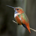 Adult male. Note: green back (up to 5% of male Rufous Hummingbirds can show a green back)