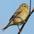 Breeding plumage female. Note: buffy wing bars and pinkish bill.