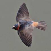 Adult in flight. Note: pale rump.