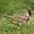 Breeding plumage adult. Note: gray cheek and black bib/crown.