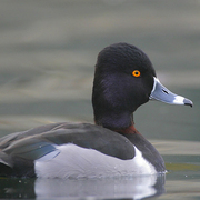 Male. Note: dark back, ring around the base of the bill and the ring on the bill.