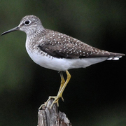 Note white speckled back, yellow legs, white belly, and white eyering.