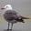 Adult breeding plumage
