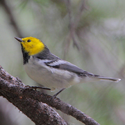 Male. Note: yellow crown and face, gray back, and plain white sides.